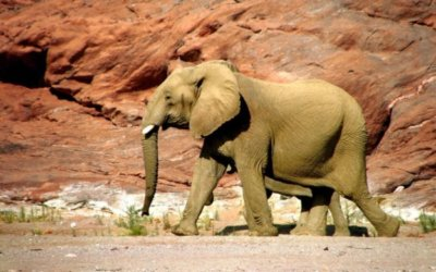 Conservation in Namibia: Desert Elephants