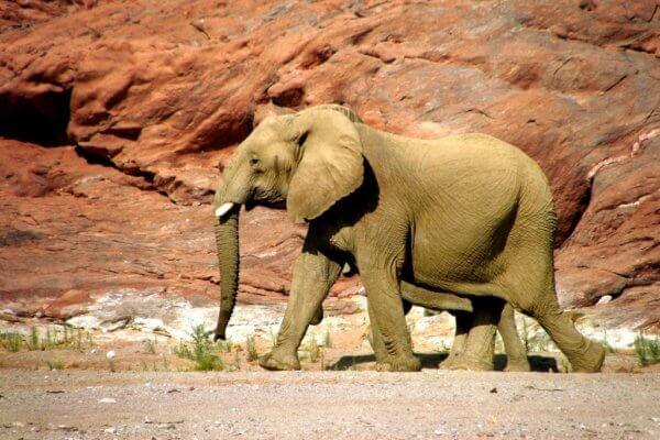 Conservation in Namibia: Desert Elephants