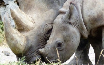 Preserving Namibia Safaris: Saving the Black Rhino
