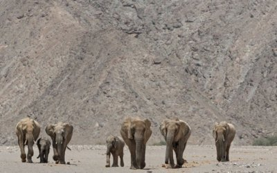 The Desert Elephants of Kunene, Namibia