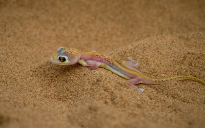 Inhabitants of the Namib – the Dune Gecko