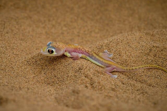Inhabitants of the Namib – the Dune Gecko