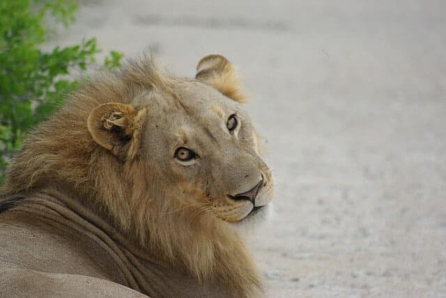 The Desert Lions of Namibia