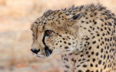 Cheetahs – When Fur Flies