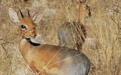 The Damara Dik Dik