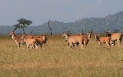 The Common Eland in Namibia