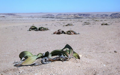 Wandering along the Welwitschia Trail in Namibia