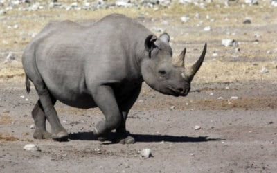 Black vs White – Know your Rhinos