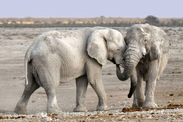 Elephants of Namibia