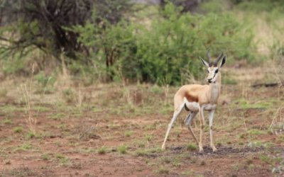 The Springbok in Nambia – one of a kind