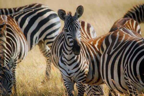 Namibia's Zebra
