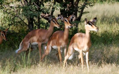 Black-Faced – Not Just Any Impala