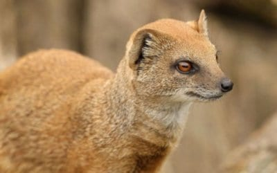 Wildlife of Namibia – The Yellow Mongoose aka Red Meerkat