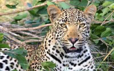 Wildlife of Namibia – Understanding Leopard Behaviour
